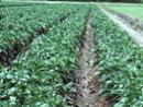 胡椒灌溉H21-002